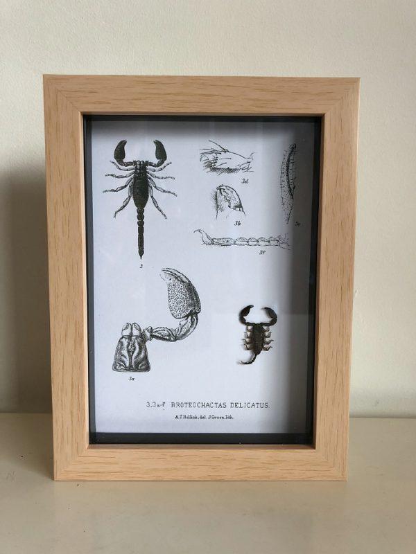 Scorpion frame with vintage illustrations