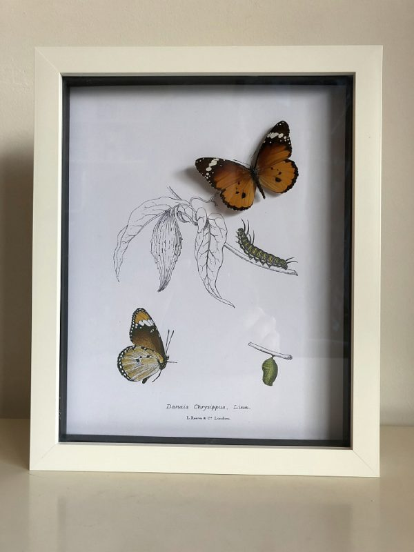 Real butterfly (Danais Chrysippus) with vintage illustrations