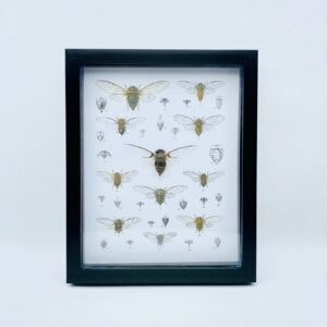 Real cicadidae (sp1) shadow frame with vintage illustrations