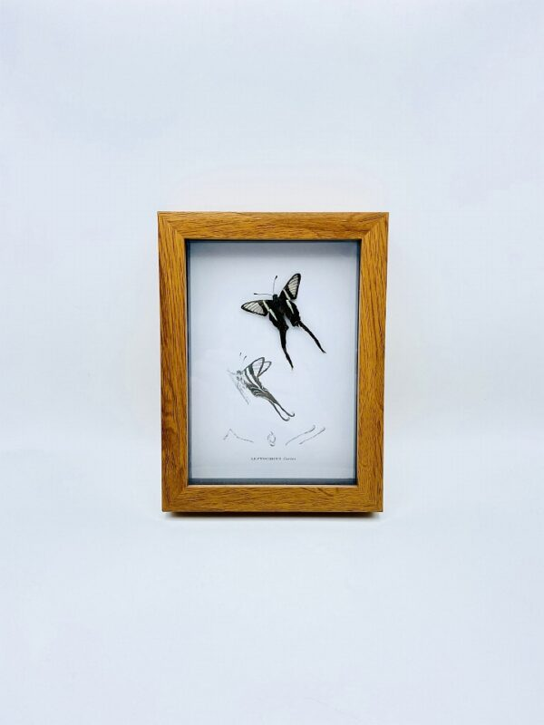 Butterfly frame (Lamproptere Meges) with illustrations