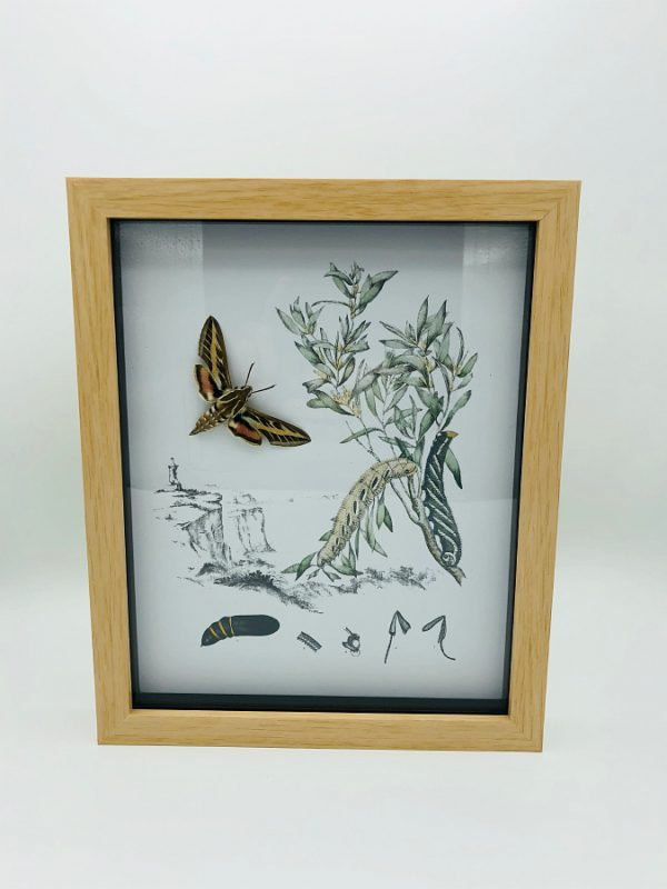 Real moth (Hyles Livornica) with vintage illustrations