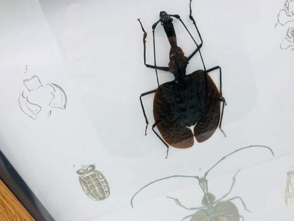 Real Violin Beetle - Mormolyce frame with vintage illustrations
