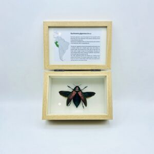 Real insect curious education box (Euchroma Gigantea)
