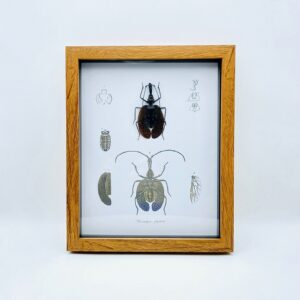 Real Violin Beetle - Mormolyce frame with vintage illustrations
