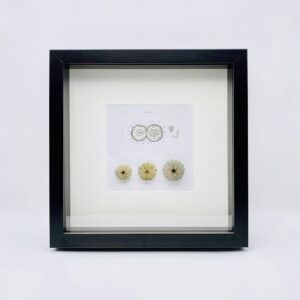 Wooden frame with 3 real sea urchins (Echinus)