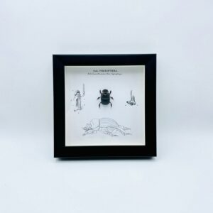 Wooden frame with real Scarabe & illustrations