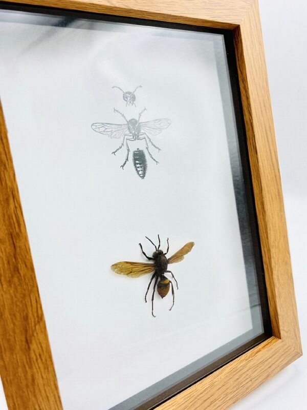 Real Wasp (L) - Hymenoptera sp frame with anatomical image