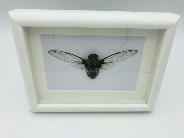 Cicadidae Frame