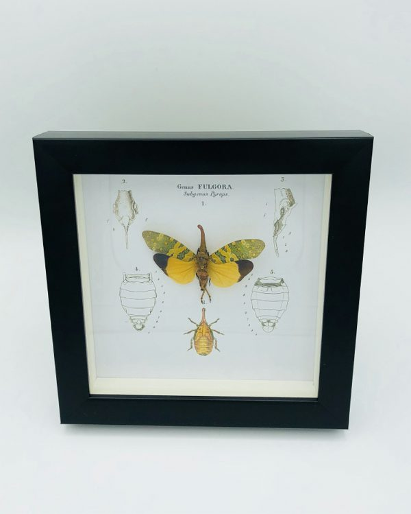 Wooden frame with real Lantern Bug (Fulgora Pyrops) & illustrations