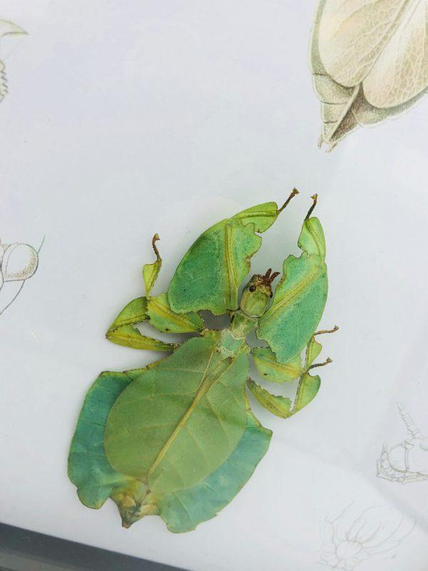 Real walking leaf (Phylliidae) with vintage illustrations