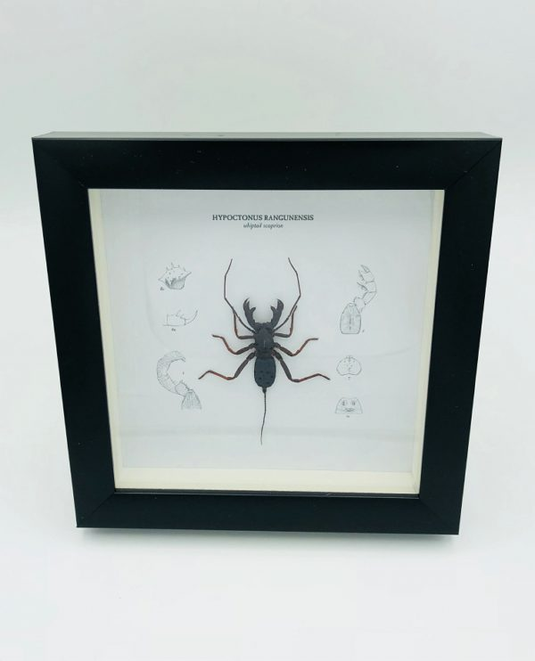 Wooden frame with real whip scorpion (Thelyphonida)
