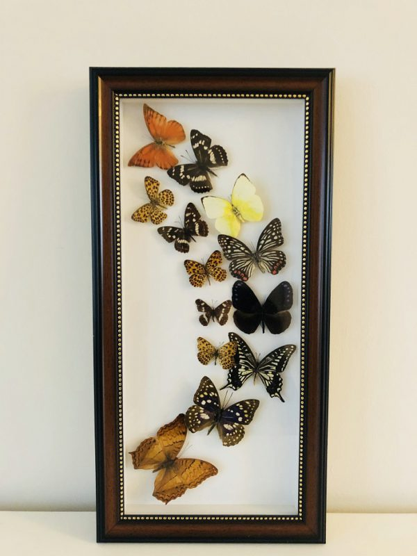 Natural History Curiosities - Large butterfly frame