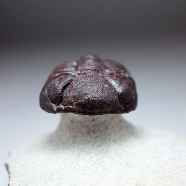 Rare red Phacopid (Trilobite)