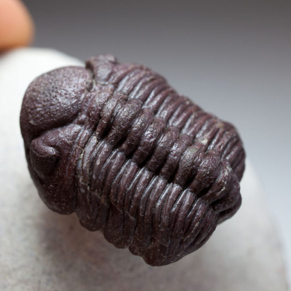 Rare red Phacopid (Trilobite)