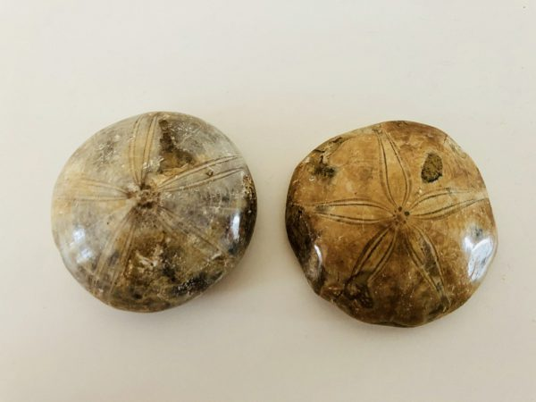 Fossilized Sand Dollars