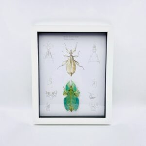 Real walking leaf (Phylliidae) with vintage illustrations