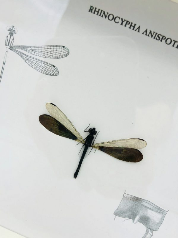Rhinocypha Anisoptera