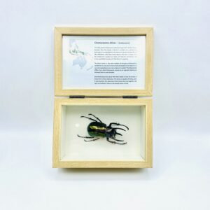 Real insect curious education box (Chalcosoma Atlas)