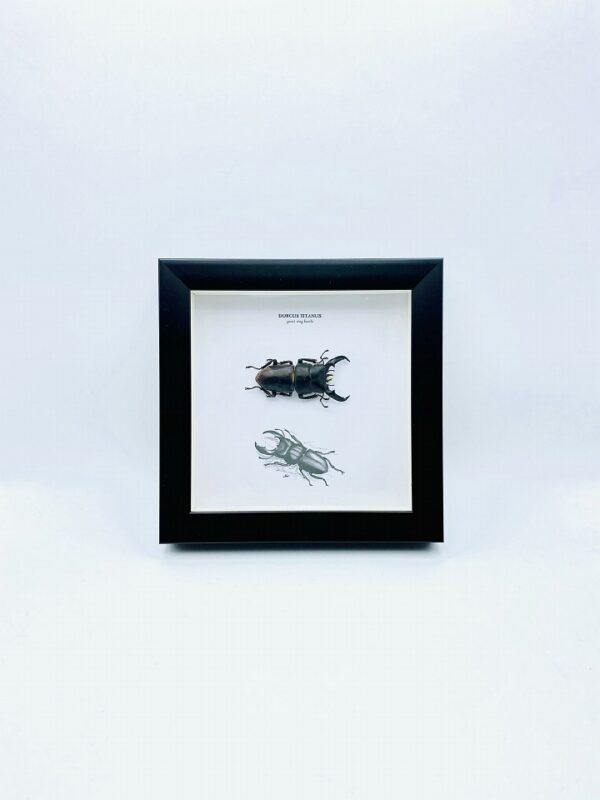 Wooden frame with Dorcus Titanus stag beetle
