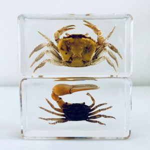 Crab in resin