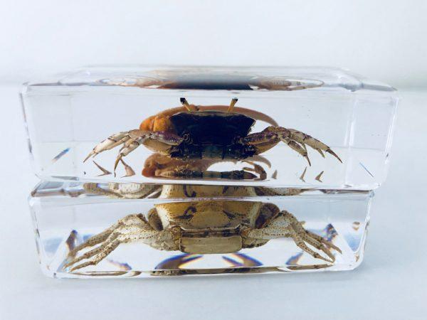Crab in resin