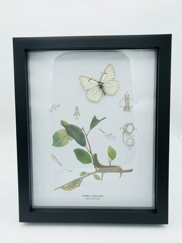 Real butterfly (Aporia Crataegi) with vintage illustrations