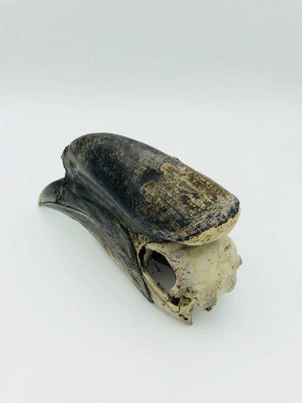 Male Black-casqued Hornbill skull