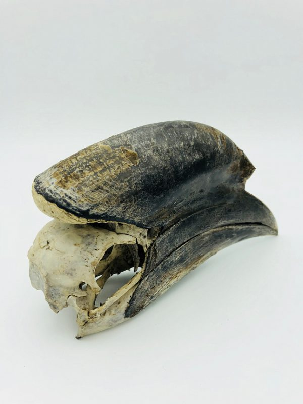 Male Black-casqued Hornbill skull
