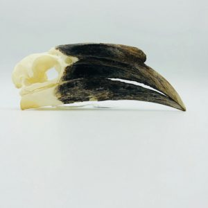 female Black-casqued Hornbill skull