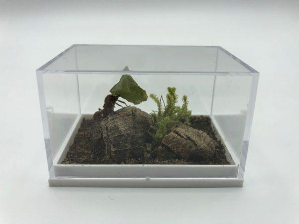 Leaf-cutter ant in a box