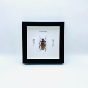 Wooden frame with beetle (Macrotoma Serripes)