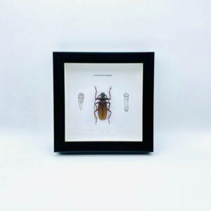 Wooden frame with beetle (Macrotoma Serripes)