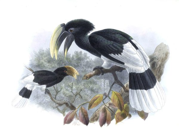 White-thighed hornbill