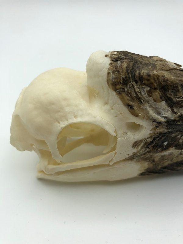 White-thighed hornbill skull