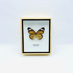 Framed Common Tiger (Danaus Genutia) butterfly