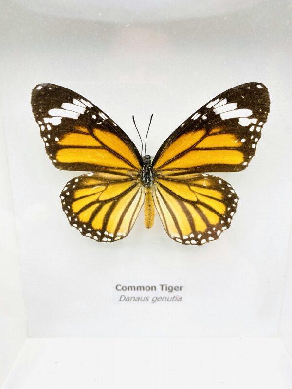 Framed Common Tiger (Danaus Genutia) butterfly