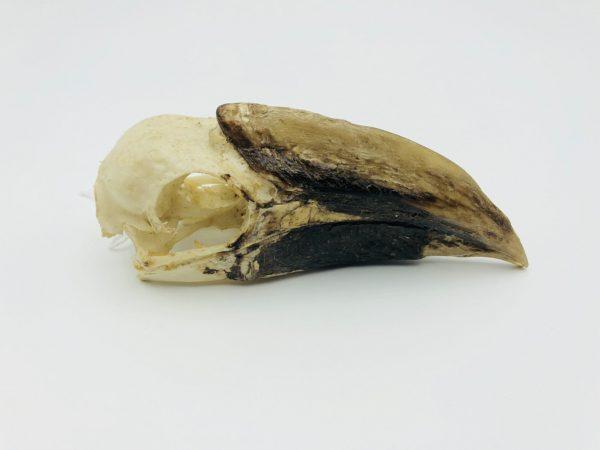 Western Piping Hornbill