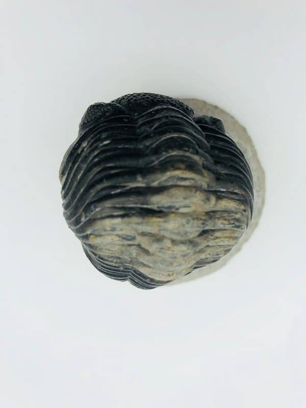 Phacops latifrons trilobite, Alnif, Morocco