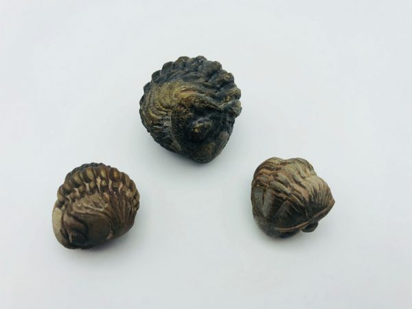 Rolled Reedops trilobites