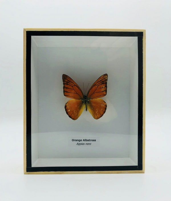 Appias nero butterfly