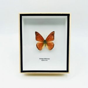 Framed Orange Albatross (Appias Nero) butterfly