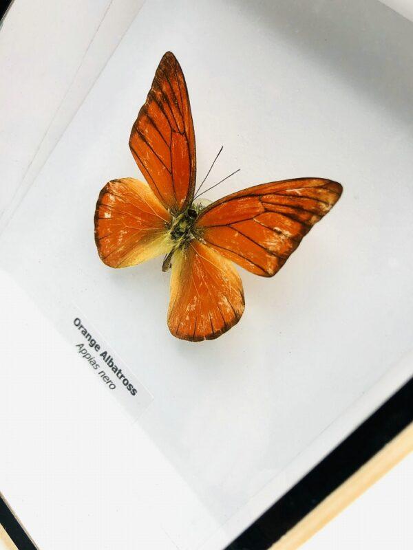 Framed Orange Albatross (Appias Nero) butterfly