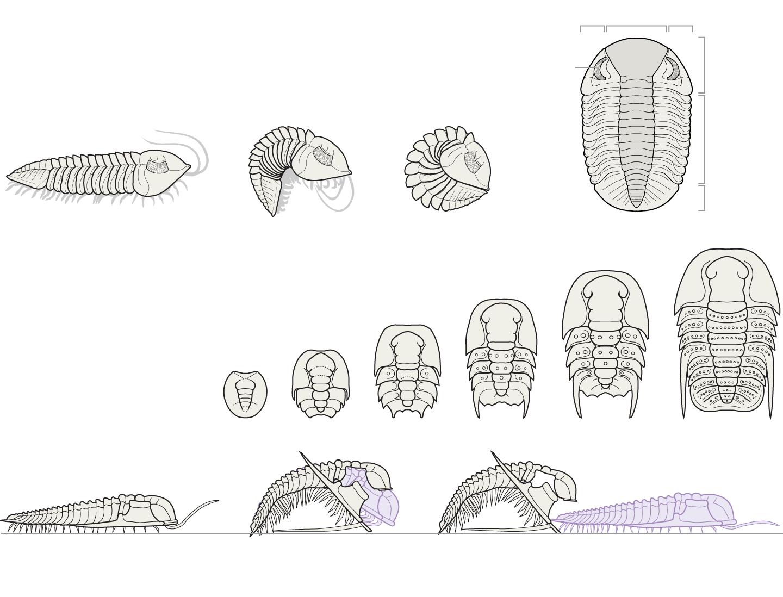 Enrolled trilobites