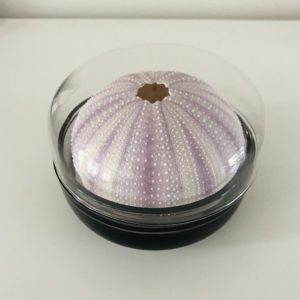 Sea Urchin in Glass box