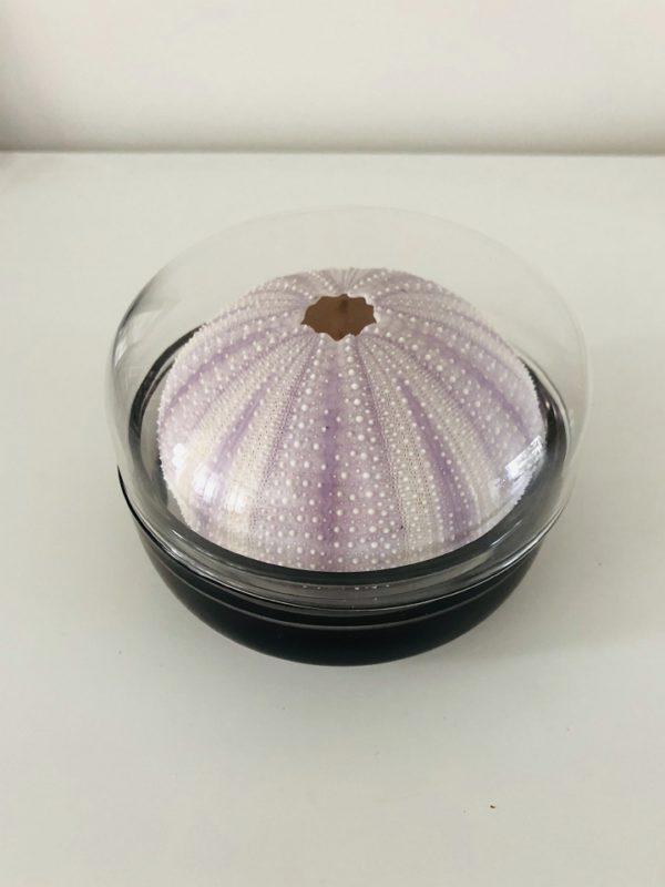 Sea Urchin in Glass box