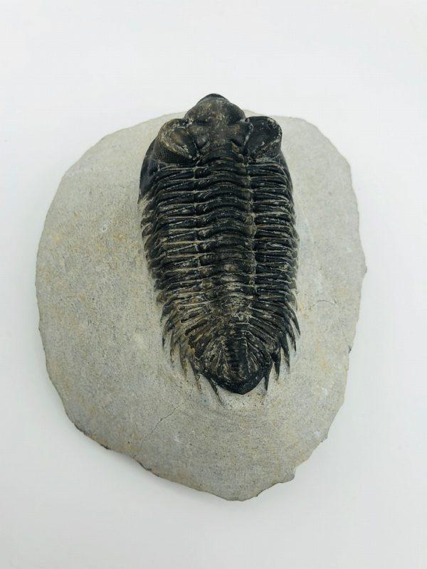 Coltraenia oufatenensis trilobite Morocco