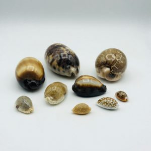 Collection of Cypraeidae/cowry shells