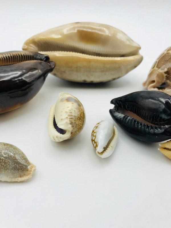 Collection of Cypraeidae/cowry shells