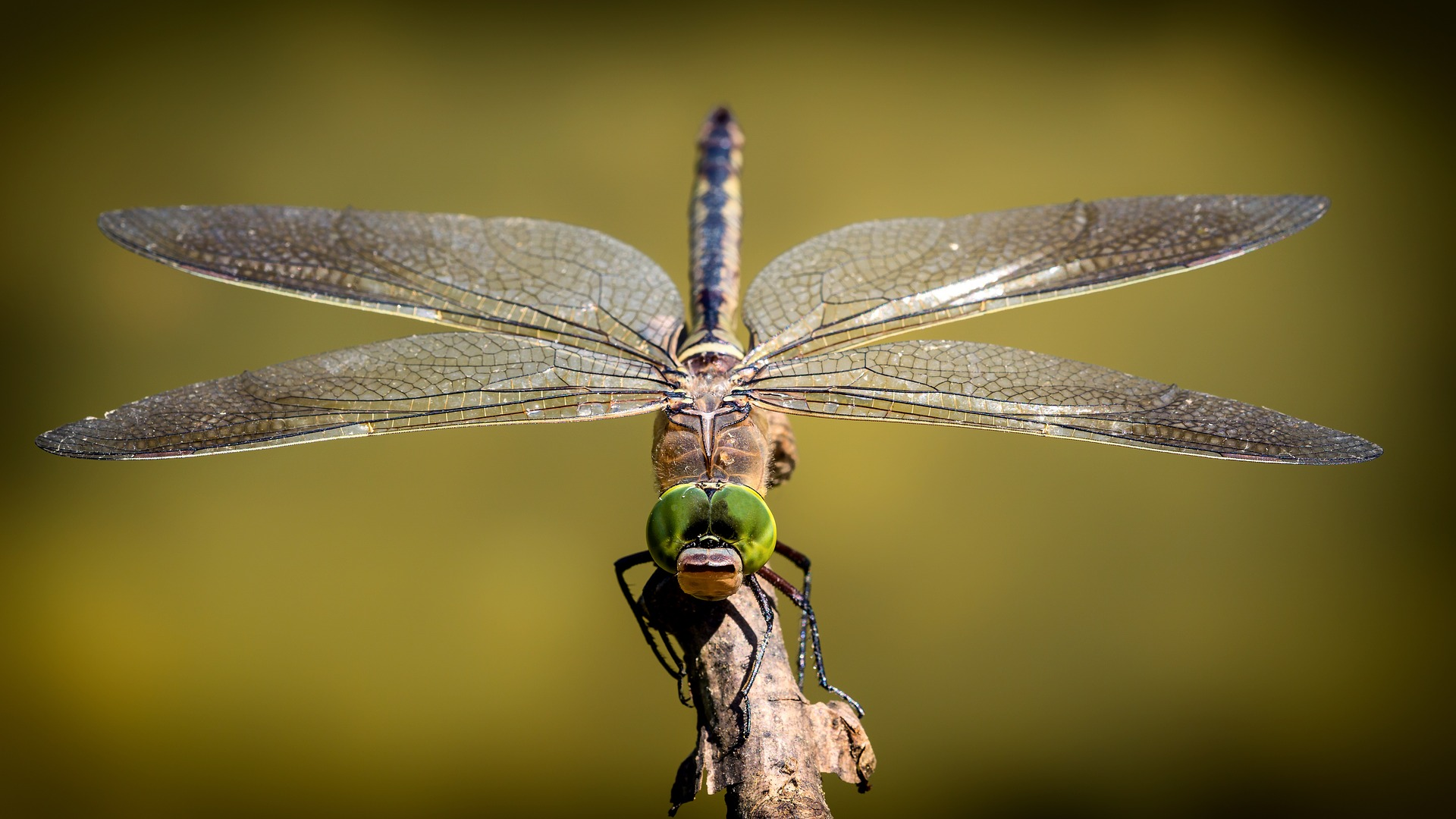 Dragonflies and Damselflies, almost perfect creatures from the very beginning
