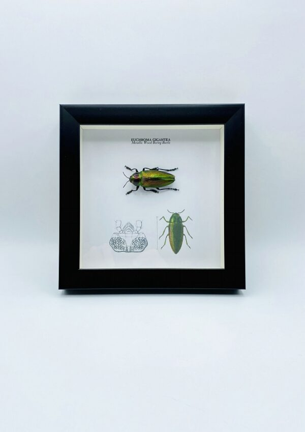 Wooden frame with metallic wood boring beetle (Euchroma Gigantea)